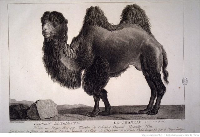 Gallica camel