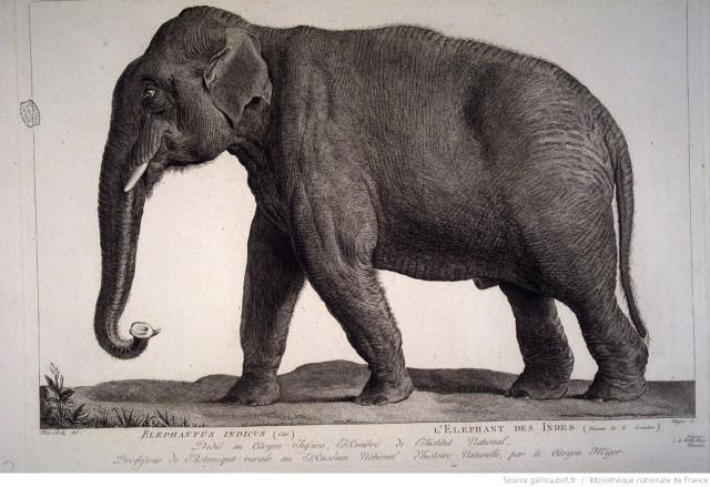 Gallica elephant